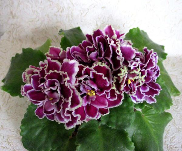 Цветение-фиалки-ЛЕ-Шато-Брион-фото
