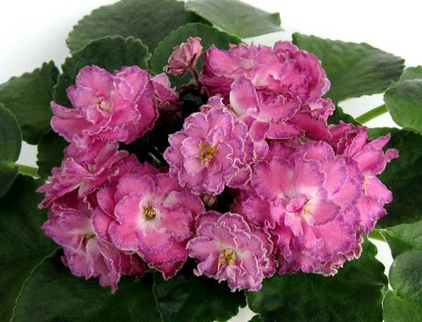 Цветение-фиалки-Морева-Олеся-фото
