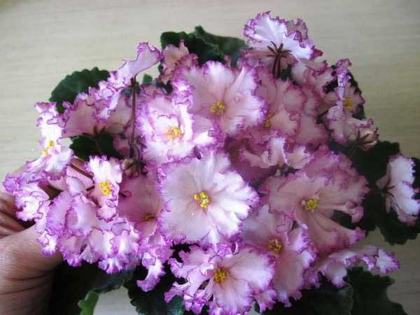 Цветение-фиалки-ян-менуэт-фото