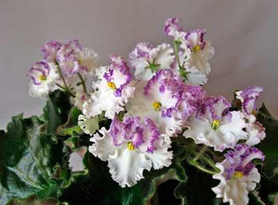 Цветение-фиалки-золушкин-сон-фото