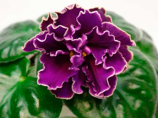 Цветок-рс-эсмеральда-лав-фото