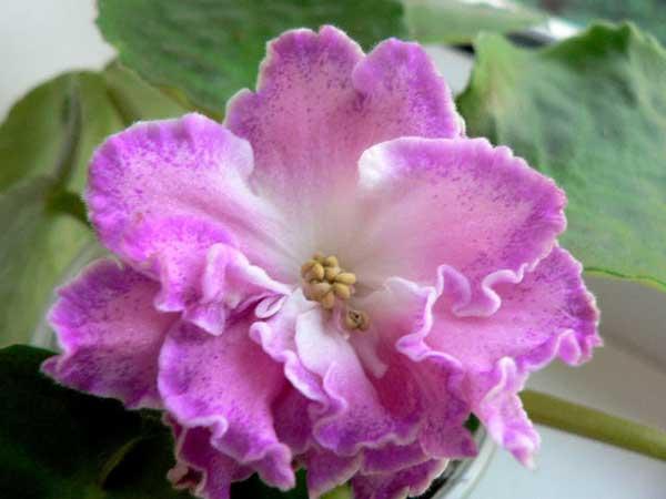 Цветок-сорта-фиалки-Олеся-фото