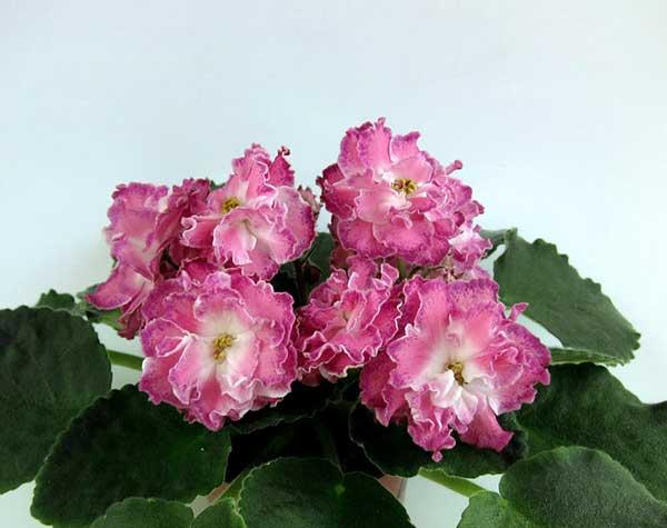 Цветы-сортовой-фиалки-Олеся-фото
