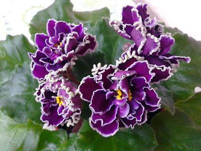 как-расцветает-шато-брион-фото