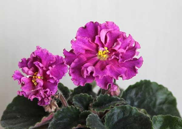 как-цветет-фиалка-богиня-красоты-фото
