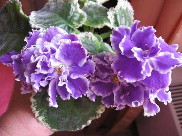 как-цветет-фиалка-летние-сумерки-фото