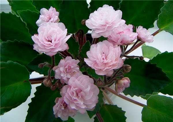 как-цветет-фиалка-литуаника-фото