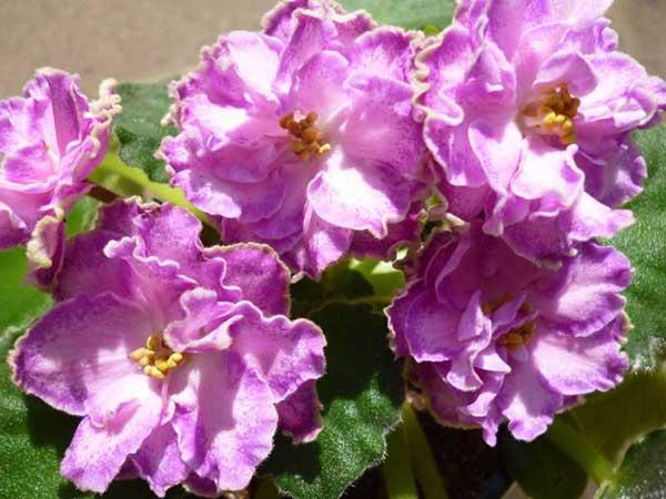 как-цветет-фиалка-олеся-фото