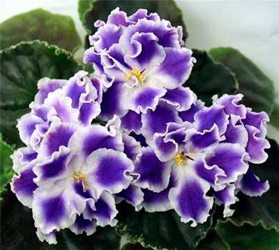 красивые-цветы-фиалки-летние-сумерки-фото