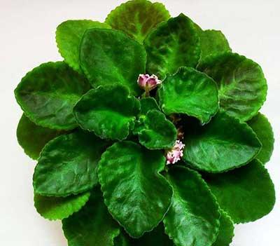 листья-фиалки-олеся-фото