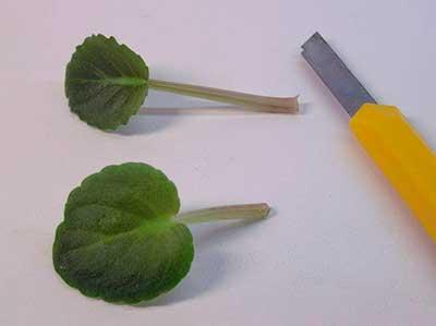 размножение-фиалок-фото