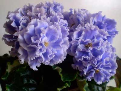 семполия-голубой-туман-фото