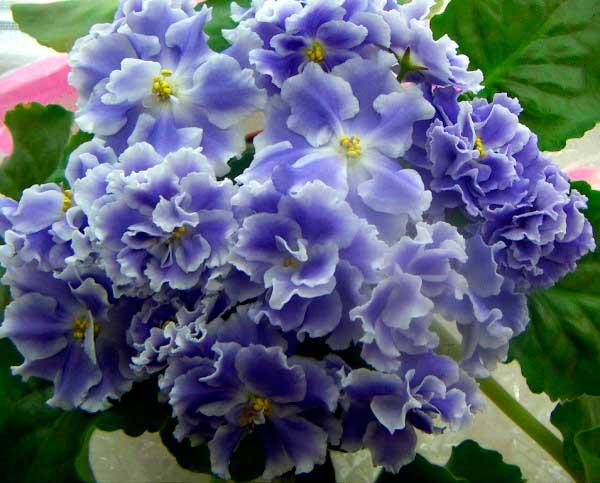 соцветия-фиалки-голубой-туман-фото
