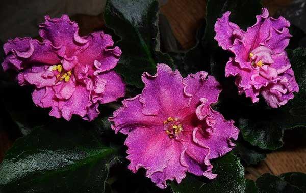 цветение-фиалки-богиня-красоты-фото