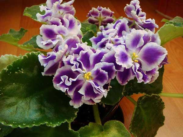цветение-фиалки-летние-сумерки-дома-фото