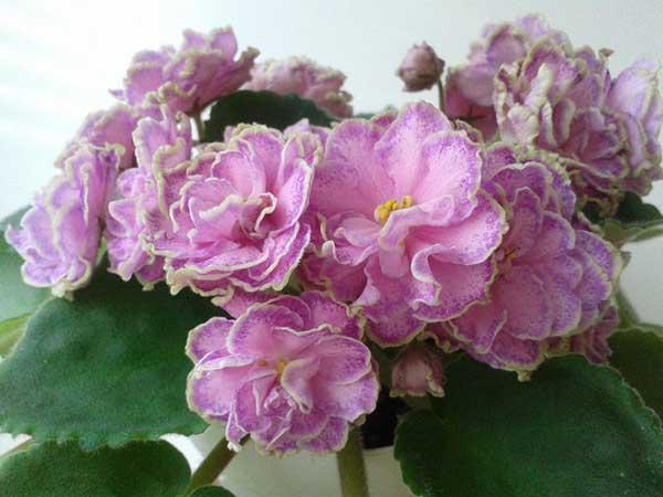 цветение-фиалки-сорта-Олеся-фото