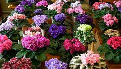 цветение-фиалок-фото