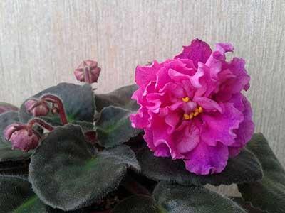 цветочек-фиалки-богиня-красоты-фото