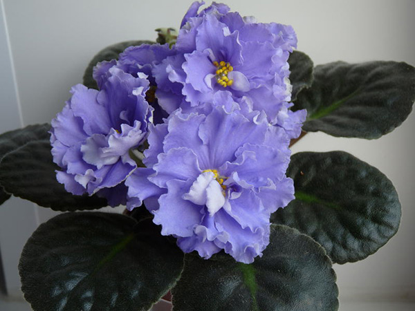 цветочки-фиалки-морской-волк-фото