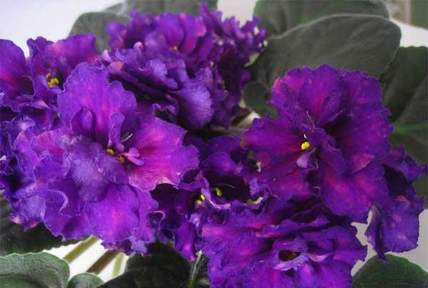 цветочки-фиалки-шансон-фото