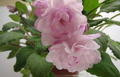 цветочки-фиалки-сорта-литуаника-фото