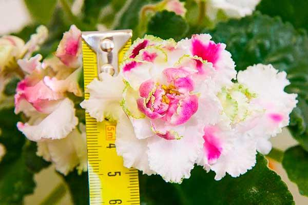 цветок-фиалки-ледяная-роза-фото