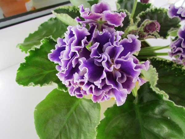цветок-фиалки-летние-сумерки-фото
