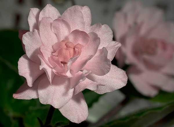 цветок-фиалки-литуаника-фото