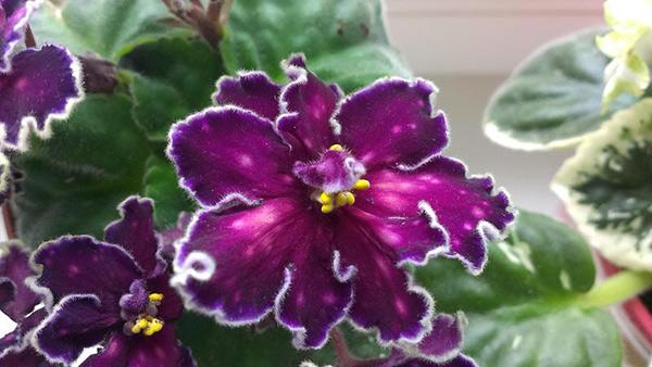цветок-фиалки-танец-галактик-фото