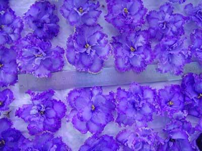 цветы-фиалки-голубой-дракон-фото