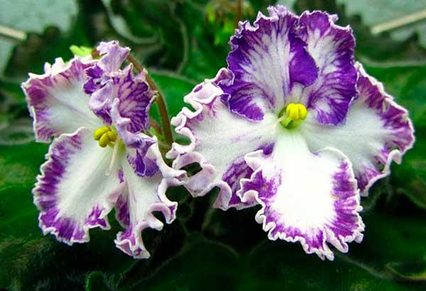 цветы-фиалки-золушкин-сон-фото