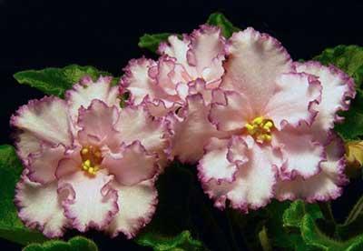 цветы-сорта-ян-менуэт-фото