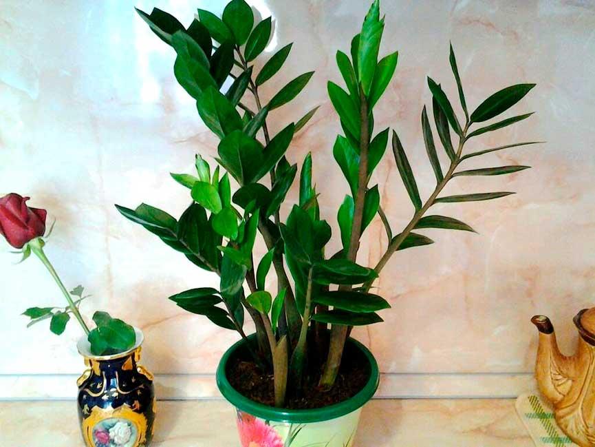 Размножение долларовое дерево уход в домашних условиях 460