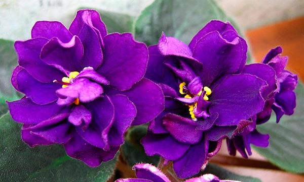 как-выглядят-цветы-фиалки-черная-жемчужина-фото