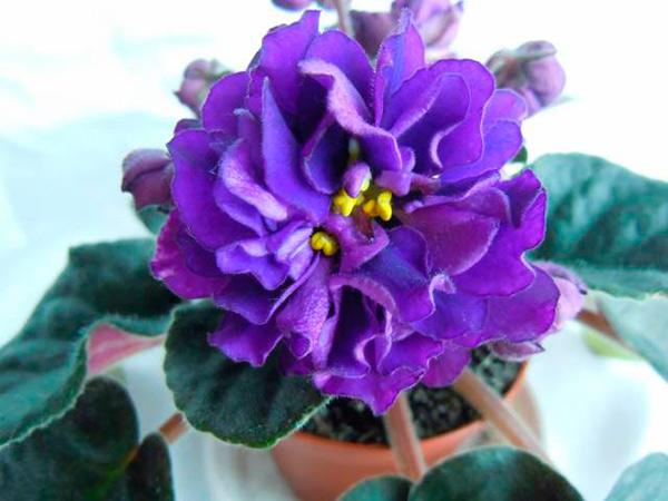 цветок-фиалки-черная-жемчужина-фото