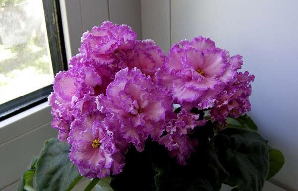 Цветение-фиалок-анжелика-фото