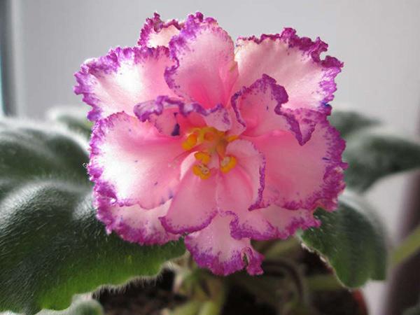 Цветок-фиалки-анжелика-фото