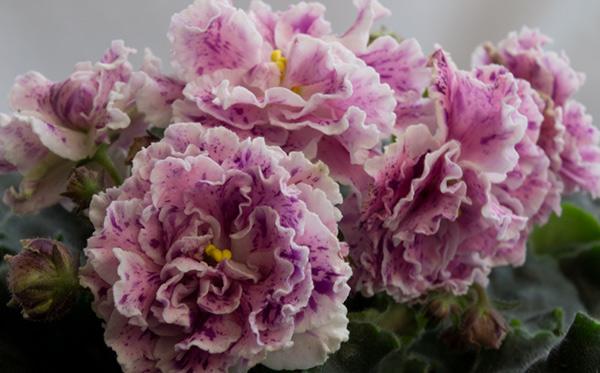 Фиалка-айседора-цветет-фото