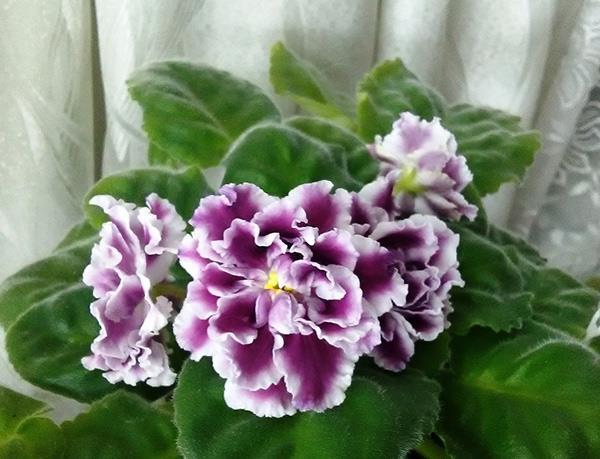 Как-цветет-фиалка-герцогиня-фото