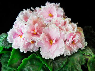 Как-цветет-фиалка-зима-улыбается-фото