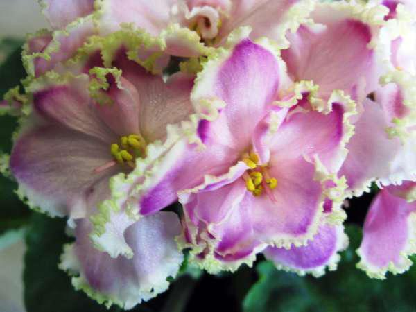 Красиво-цветет-фиалка-зима-улыбается-фото