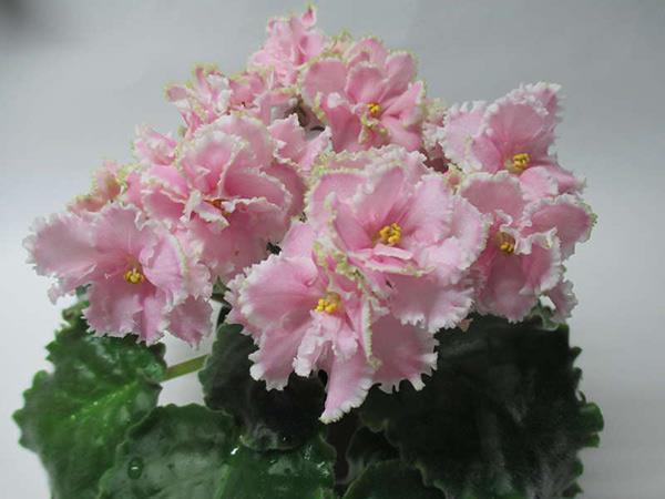 Очень-красиво-цветет-фиалка-зима-улыбается-фото