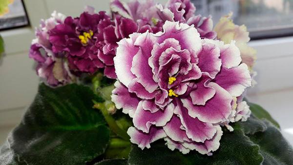 Сортовая-фиалка-герцогиня-фото