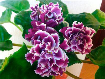 Цветение-РС-Герцогиня-фото