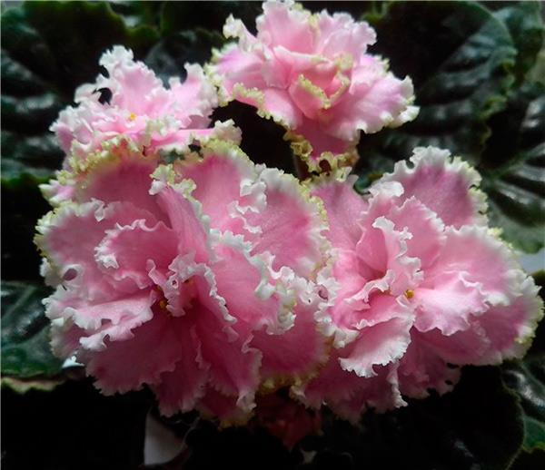 Цветочки-фиалки-зима-улыбается-фото