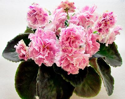 айседора-цветок-фиалка-фото