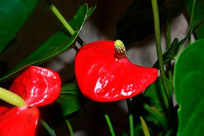 цветение-антуриума-фото