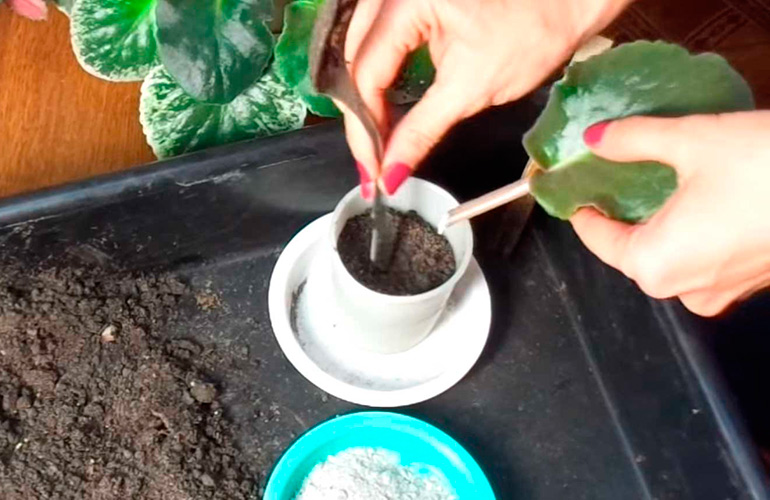 Как сажать листочек фиалки 33