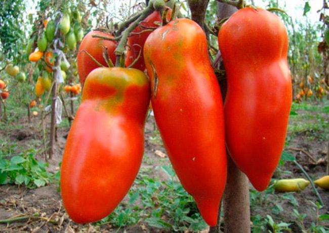 «Алый-мустанг»-томат-фото