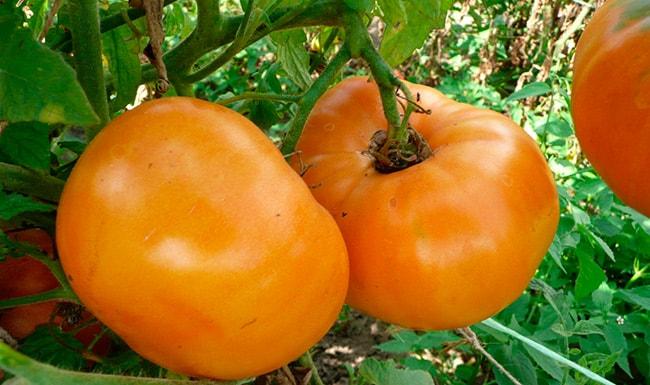 «Амана-Оранж»-томат-фото